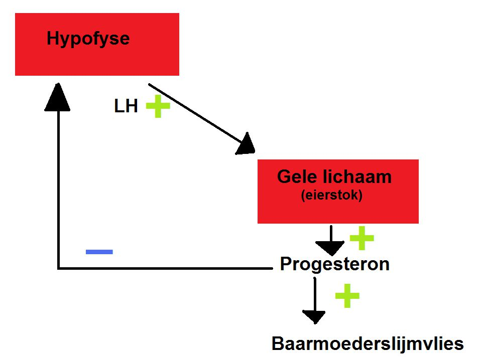 Zwangerschap LH: -Stimuleert follikelrijping en ovulatie -Houdt gele lichaam enige tijd in stand FSH -Geremd door progesteron (geen nieuwe follikels rijpen) Progesteron werd gemaakt door gele lichaam Zaadcel 3 dagen in leven en een eicel maar 12 uur na ovulatie.