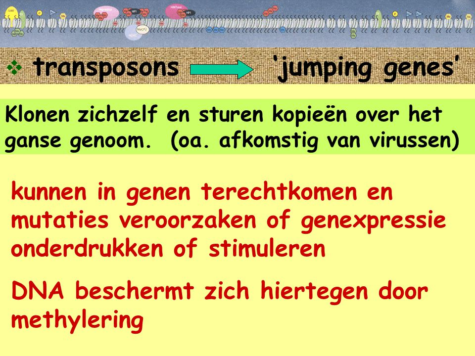  transposons 'jumping genes' Klonen zichzelf en sturen kopieën over het ganse genoom. (oa. afkomstig van virussen) kunnen in genen terechtkomen en mu