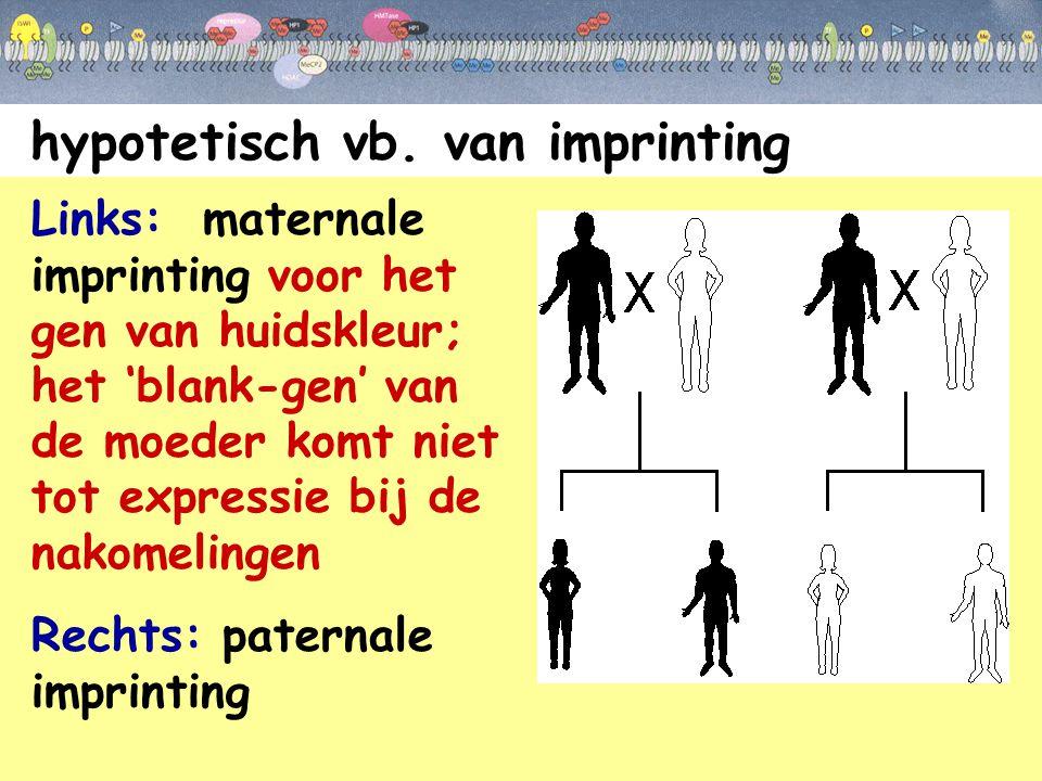 hypotetisch vb. van imprinting Links: maternale imprinting voor het gen van huidskleur; het 'blank-gen' van de moeder komt niet tot expressie bij de n
