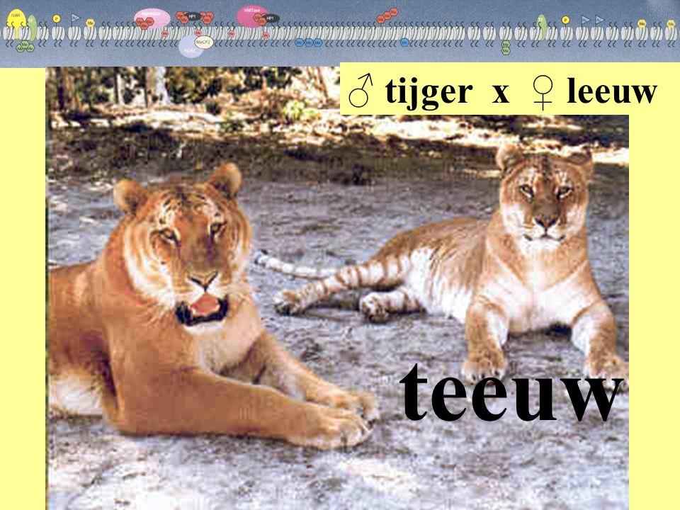 teeuw ♂ tijger x ♀ leeuw