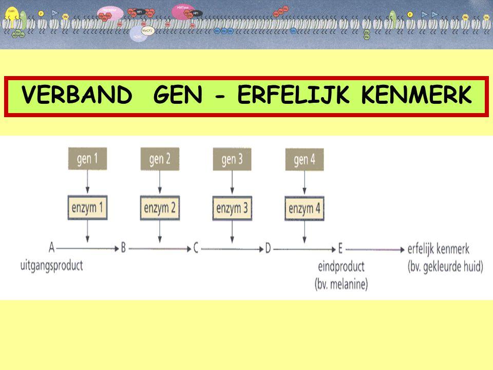  organisatie chromatine euchromatine heterochromatine DNA sterk gecondenseerd Nucleosomen verder uit elkaar Genexpressie mogelijk