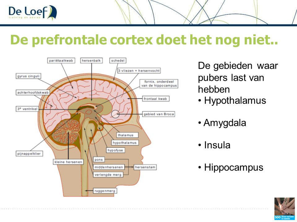 De prefrontale cortex doet het nog niet.. • Hypothalamus • Amygdala • Hippocampus • Insula De gebieden waar pubers last van hebben