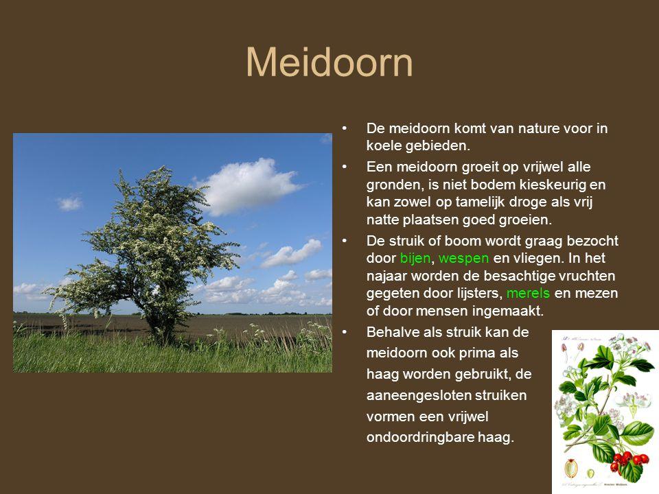 Meidoorn •De meidoorn komt van nature voor in koele gebieden. •Een meidoorn groeit op vrijwel alle gronden, is niet bodem kieskeurig en kan zowel op t