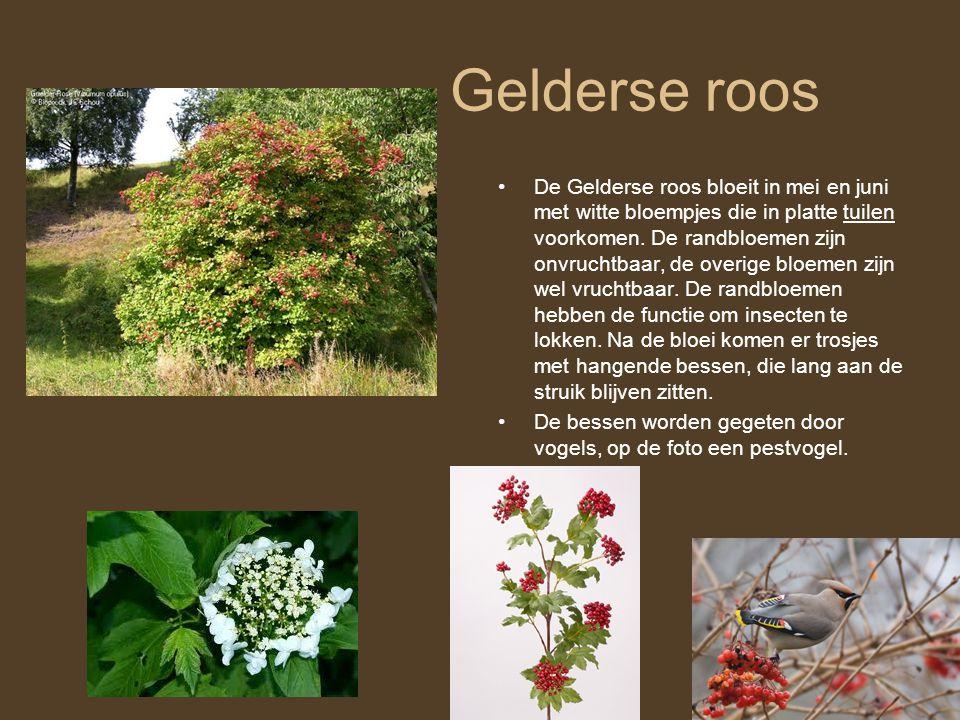 Gelderse roos •De Gelderse roos bloeit in mei en juni met witte bloempjes die in platte tuilen voorkomen. De randbloemen zijn onvruchtbaar, de overige