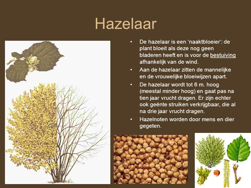 Hazelaar •De hazelaar is een 'naaktbloeier': de plant bloeit als deze nog geen bladeren heeft en is voor de bestuiving afhankelijk van de wind. •Aan d