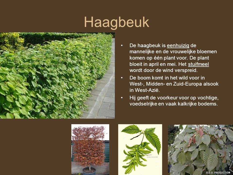 Haagbeuk •De haagbeuk is eenhuizig de mannelijke en de vrouwelijke bloemen komen op één plant voor. De plant bloeit in april en mei. Het stuifmeel wor