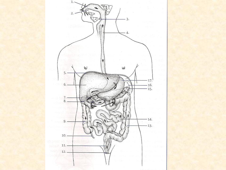 Mondholte •Het gebit –Snijden, bijten en vermalen van voedsel •Speeksel (bevat enzym amylase) –Aangemaakt door oor-, ondertong-, onderspaakspeekselklieren en slijmcellen •Tong –Voor verplaatsing spijs en vermenging met speeksel