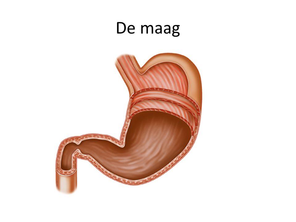 - komt in de dunne darm terecht • De rest van de alcohol gaat via het maagportier – dat is de klep tussen maag en dunne darm – naar de dunne darm.