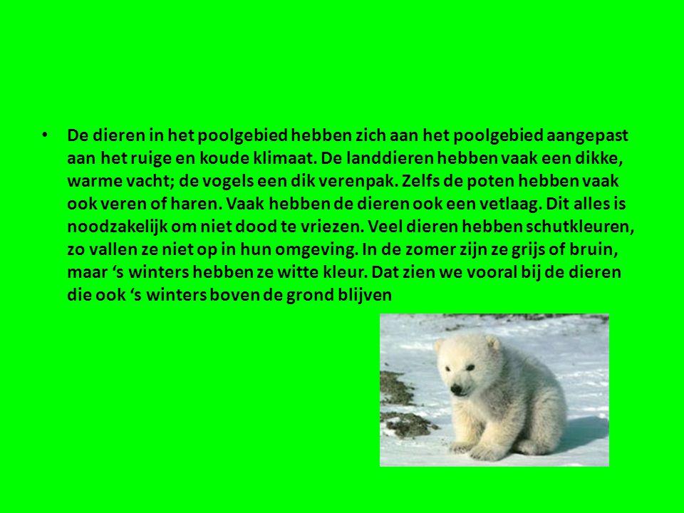 • De dieren in het poolgebied hebben zich aan het poolgebied aangepast aan het ruige en koude klimaat.