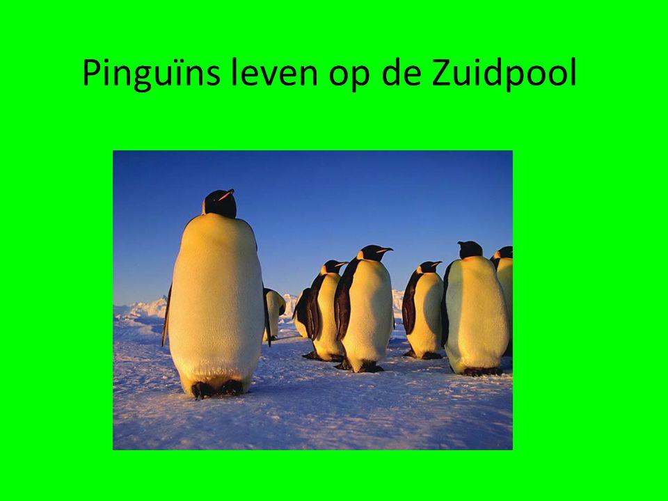 En nu nog een pinguïn die de weg niet weet.