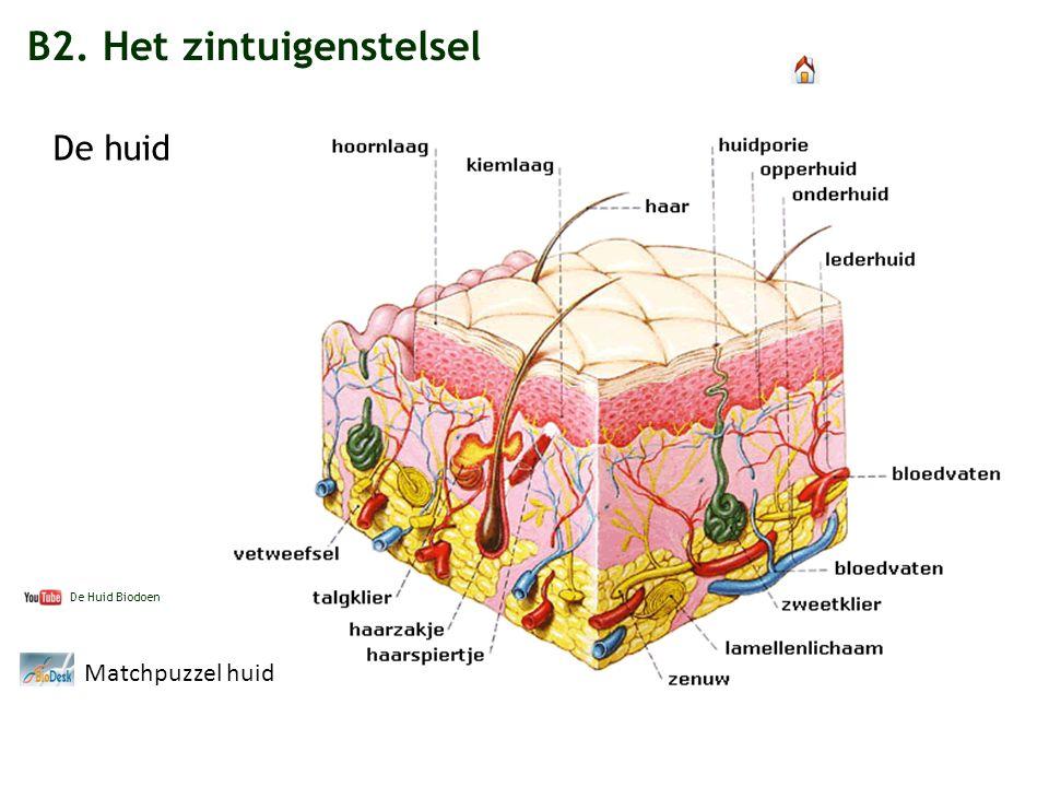B2. Het zintuigenstelsel De huid Matchpuzzel huid De Huid Biodoen