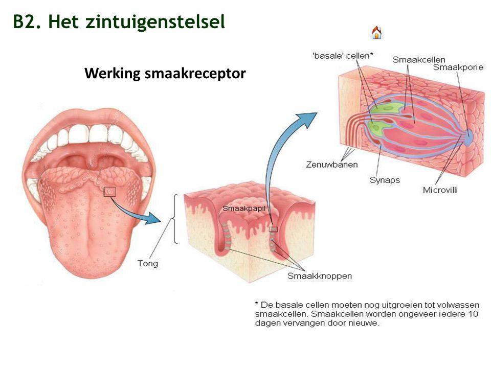 B2. Het zintuigenstelsel Werking smaakreceptor