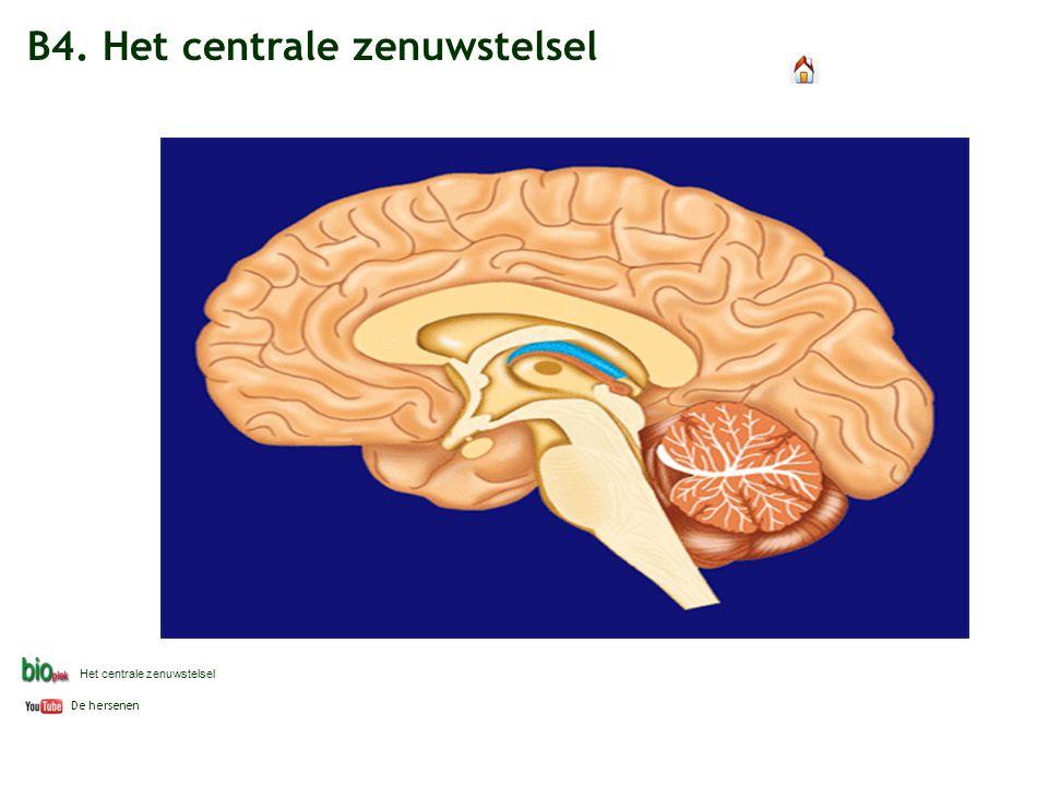 B4. Het centrale zenuwstelsel De hersenen Het centrale zenuwstelsel