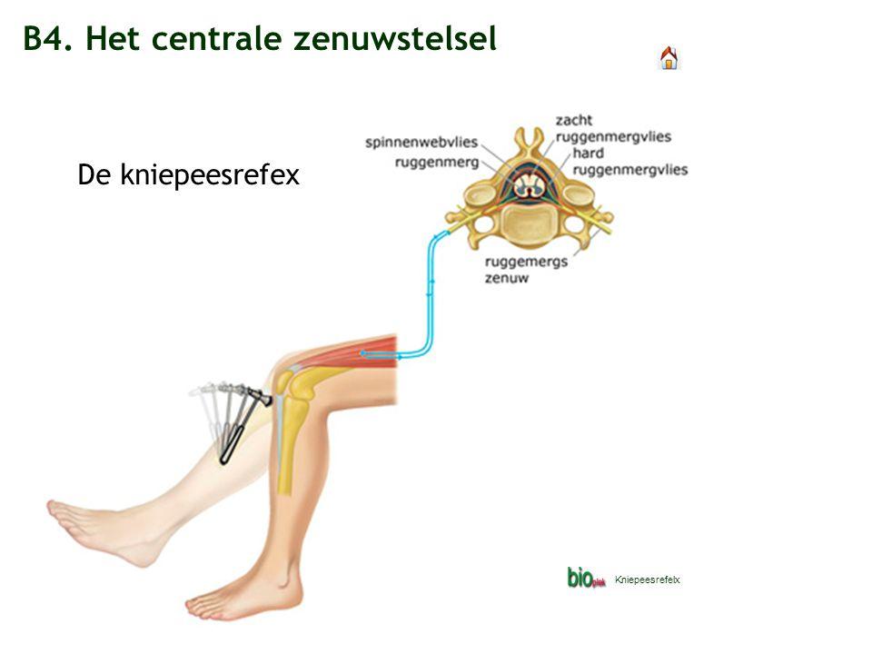 B4. Het centrale zenuwstelsel De kniepeesrefex Kniepeesrefelx