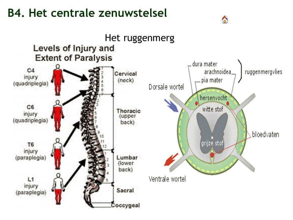 B4. Het centrale zenuwstelsel Het ruggenmerg