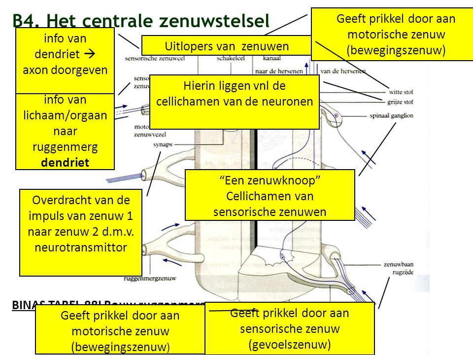 B4. Het centrale zenuwstelsel BINAS TABEL 88I Bouw ruggenmerg info van lichaam/orgaan naar ruggenmerg dendriet info van dendriet  axon doorgeven Geef