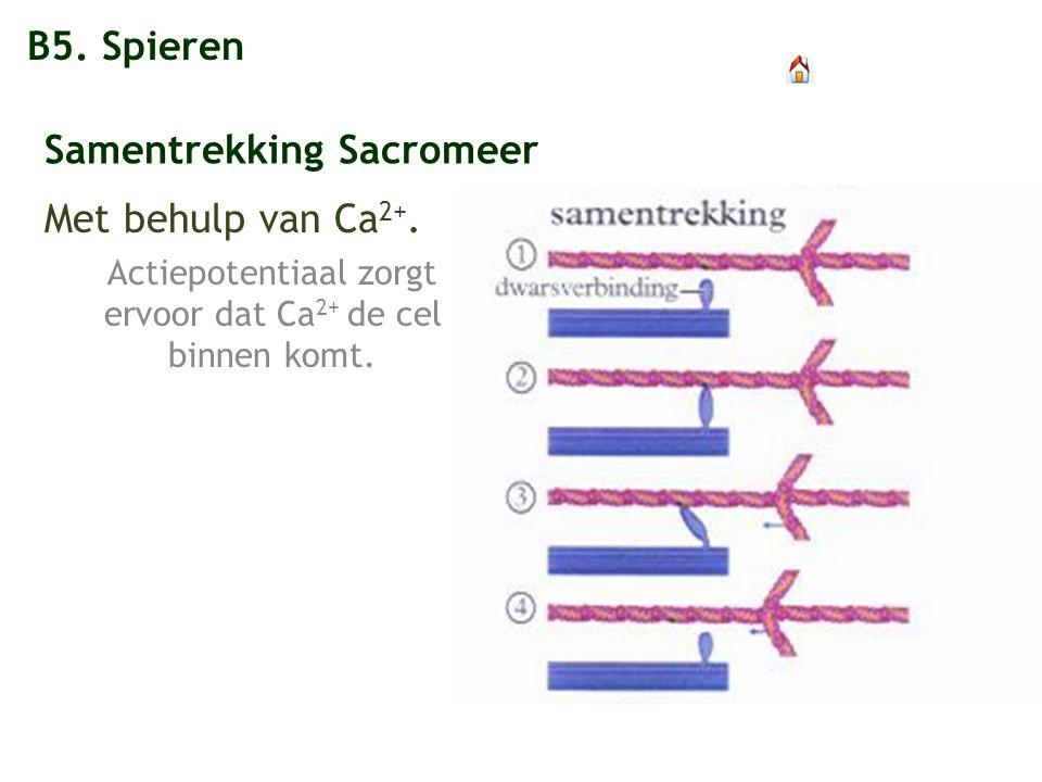 B5. Spieren Samentrekking Sacromeer Met behulp van Ca 2+. Actiepotentiaal zorgt ervoor dat Ca 2+ de cel binnen komt.