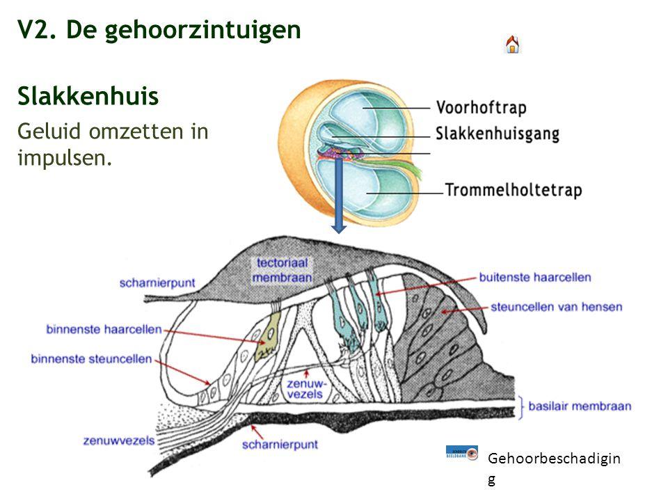V2. De gehoorzintuigen Slakkenhuis Geluid omzetten in impulsen. Gehoorbeschadigin g