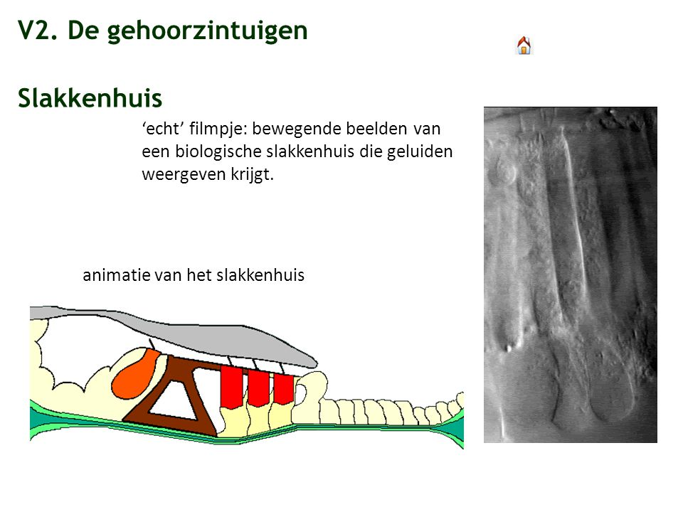 V2. De gehoorzintuigen Slakkenhuis 'echt' filmpje: bewegende beelden van een biologische slakkenhuis die geluiden weergeven krijgt. animatie van het s