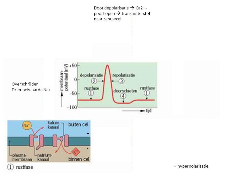 + - Overschrijden Drempelwaarde Na+ Door depolarisatie  Ca2+- poort open  transmitterstof naar zenuwcel = hyperpolarisatie