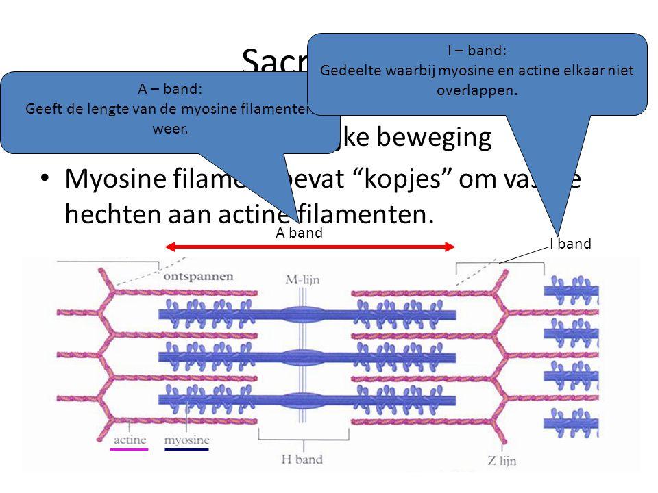 """Sacromeer • Hier gebeurt de eigenlijke beweging • Myosine filament bevat """"kopjes"""" om vast te hechten aan actine filamenten. A – band: Geeft de lengte"""