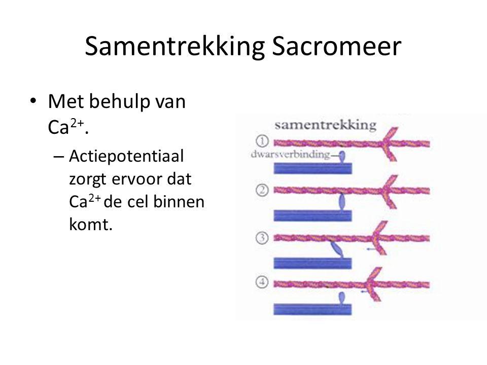 Samentrekking Sacromeer • Met behulp van Ca 2+. – Actiepotentiaal zorgt ervoor dat Ca 2+ de cel binnen komt.