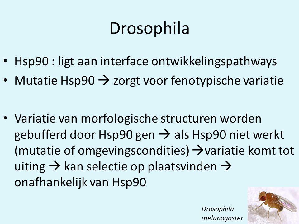 Drosophila • Hsp90 : ligt aan interface ontwikkelingspathways • Mutatie Hsp90  zorgt voor fenotypische variatie • Variatie van morfologische structuren worden gebufferd door Hsp90 gen  als Hsp90 niet werkt (mutatie of omgevingscondities)  variatie komt tot uiting  kan selectie op plaatsvinden  onafhankelijk van Hsp90 Drosophila melanogaster