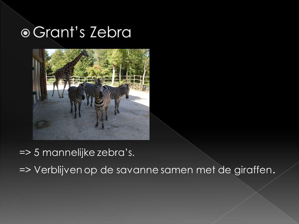 => 5 mannelijke zebra's. => Verblijven op de savanne samen met de giraffen.