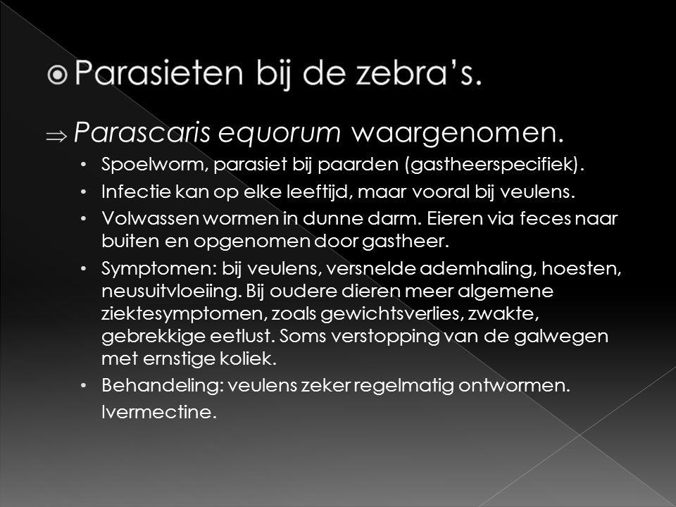  Parascaris equorum waargenomen. • Spoelworm, parasiet bij paarden (gastheerspecifiek). • Infectie kan op elke leeftijd, maar vooral bij veulens. • V