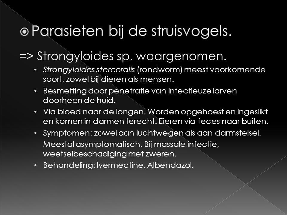 => Strongyloides sp. waargenomen. • Strongyloides stercoralis (rondworm) meest voorkomende soort, zowel bij dieren als mensen. • Besmetting door penet