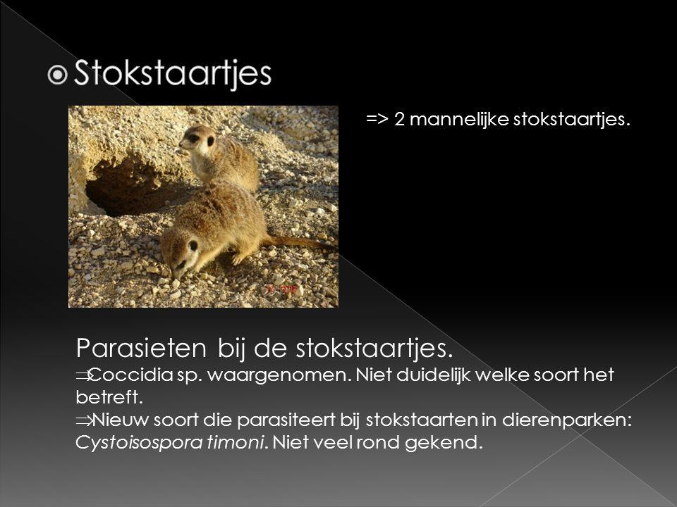 => 2 mannelijke stokstaartjes. Parasieten bij de stokstaartjes.  Coccidia sp. waargenomen. Niet duidelijk welke soort het betreft.  Nieuw soort die