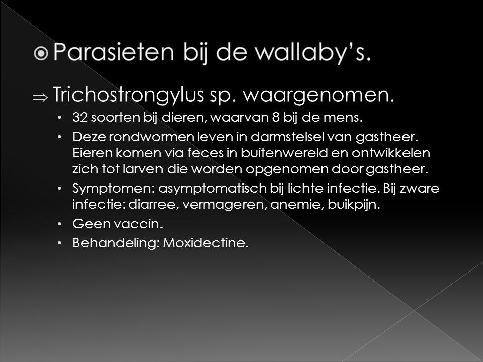  Trichostrongylus sp. waargenomen. • 32 soorten bij dieren, waarvan 8 bij de mens. • Deze rondwormen leven in darmstelsel van gastheer. Eieren komen