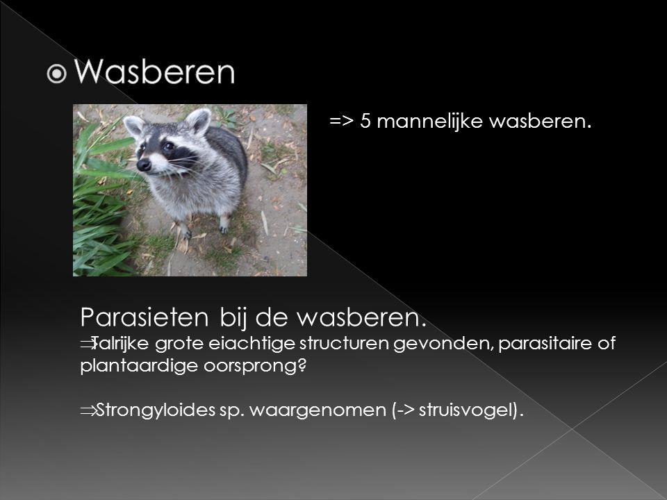=> 5 mannelijke wasberen. Parasieten bij de wasberen.  Talrijke grote eiachtige structuren gevonden, parasitaire of plantaardige oorsprong?  Strongy