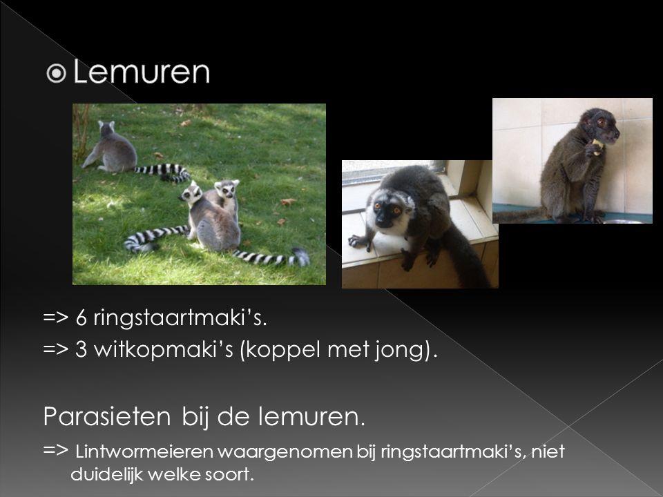 => 6 ringstaartmaki's. => 3 witkopmaki's (koppel met jong). Parasieten bij de lemuren. => Lintwormeieren waargenomen bij ringstaartmaki's, niet duidel