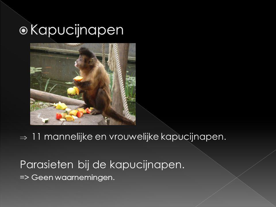  11 mannelijke en vrouwelijke kapucijnapen. Parasieten bij de kapucijnapen. => Geen waarnemingen.