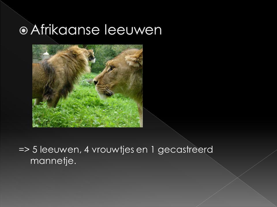 => 5 leeuwen, 4 vrouwtjes en 1 gecastreerd mannetje.