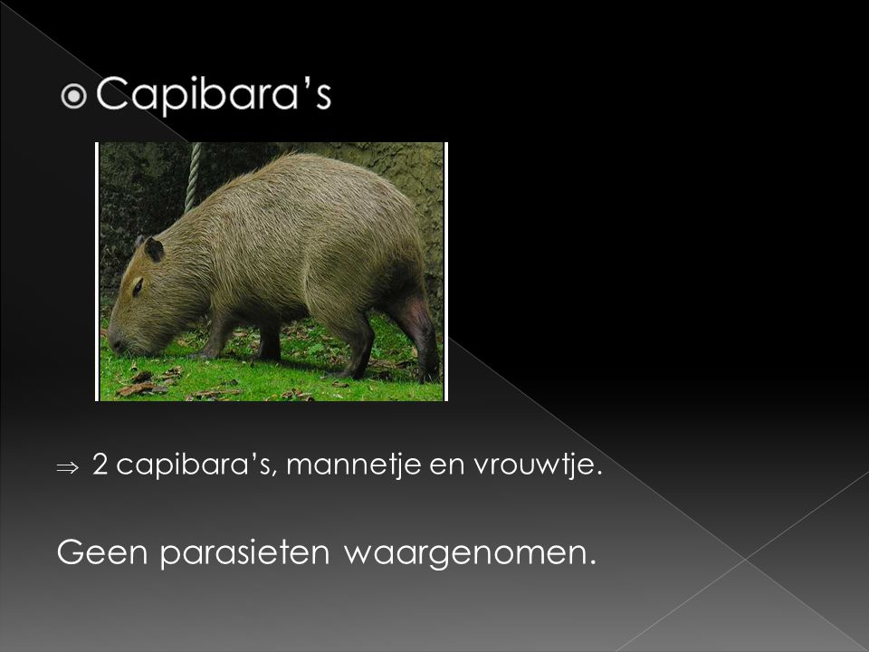  2 capibara's, mannetje en vrouwtje. Geen parasieten waargenomen.