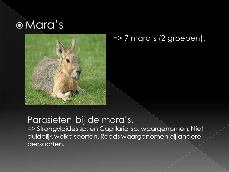 => 7 mara's (2 groepen). Parasieten bij de mara's. => Strongyloides sp. en Capillaria sp. waargenomen. Niet duidelijk welke soorten. Reeds waargenomen