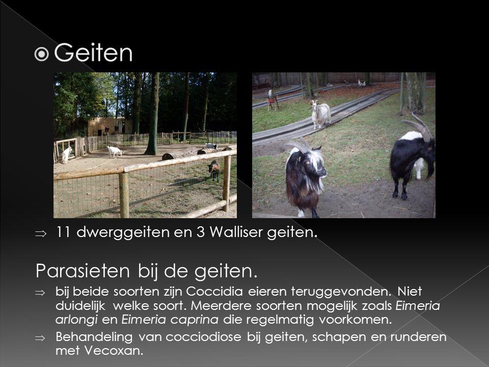  11 dwerggeiten en 3 Walliser geiten.Parasieten bij de geiten.