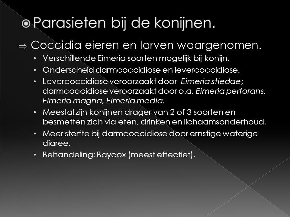  Coccidia eieren en larven waargenomen. • Verschillende Eimeria soorten mogelijk bij konijn. • Onderscheid darmcoccidiose en levercoccidiose. • Lever