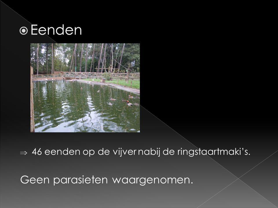  46 eenden op de vijver nabij de ringstaartmaki's. Geen parasieten waargenomen.