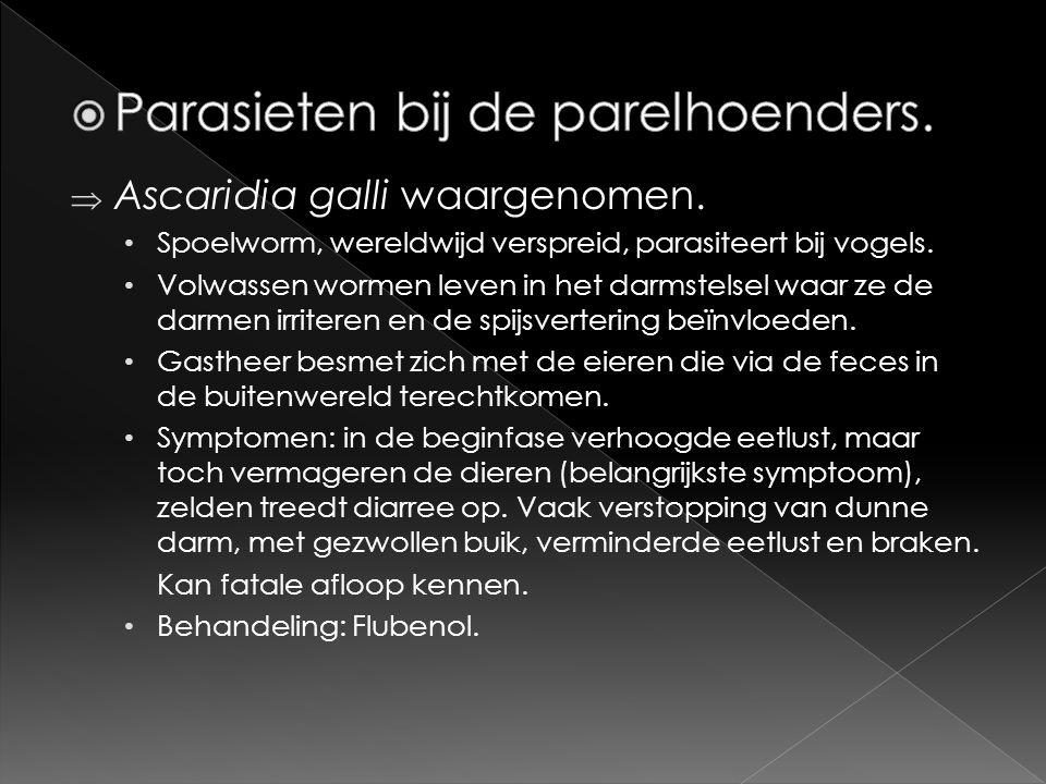  Ascaridia galli waargenomen. • Spoelworm, wereldwijd verspreid, parasiteert bij vogels. • Volwassen wormen leven in het darmstelsel waar ze de darme