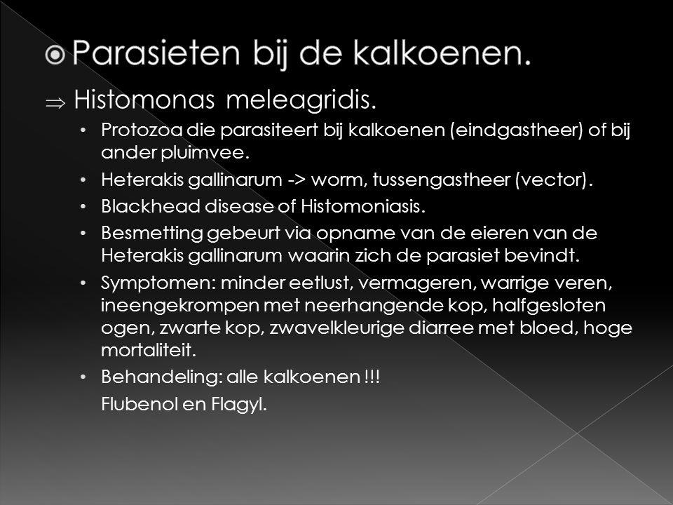  Histomonas meleagridis. • Protozoa die parasiteert bij kalkoenen (eindgastheer) of bij ander pluimvee. • Heterakis gallinarum -> worm, tussengasthee