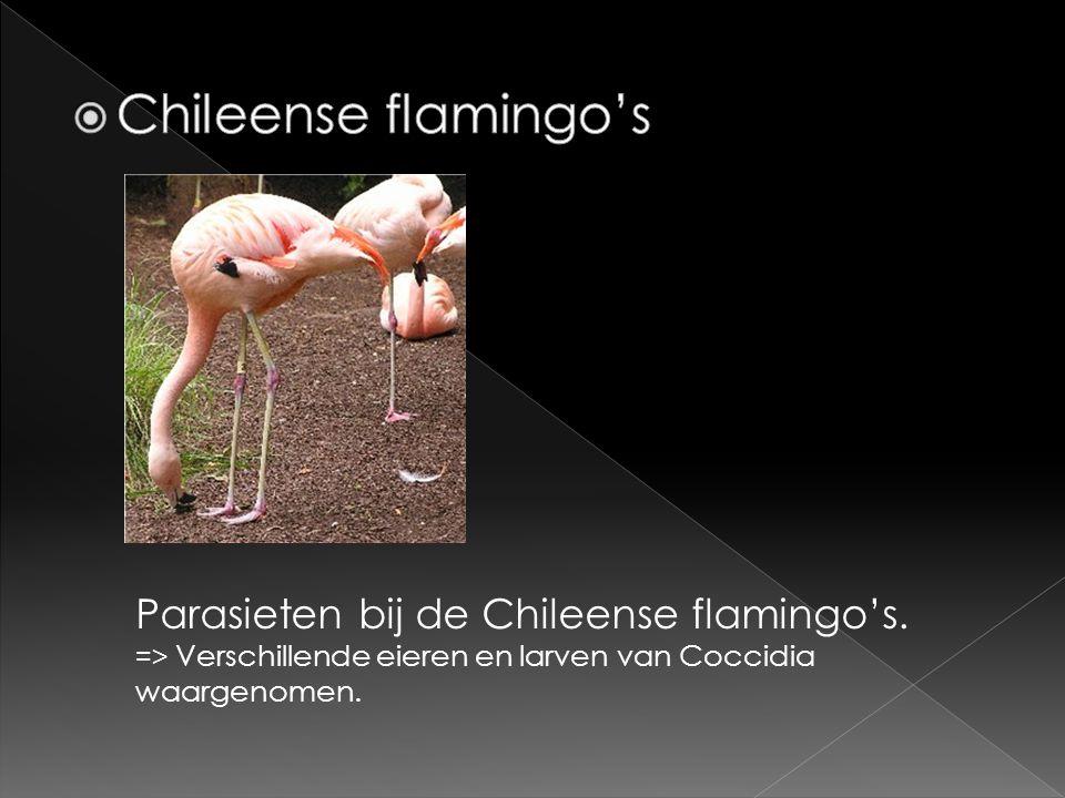 Parasieten bij de Chileense flamingo's. => Verschillende eieren en larven van Coccidia waargenomen.