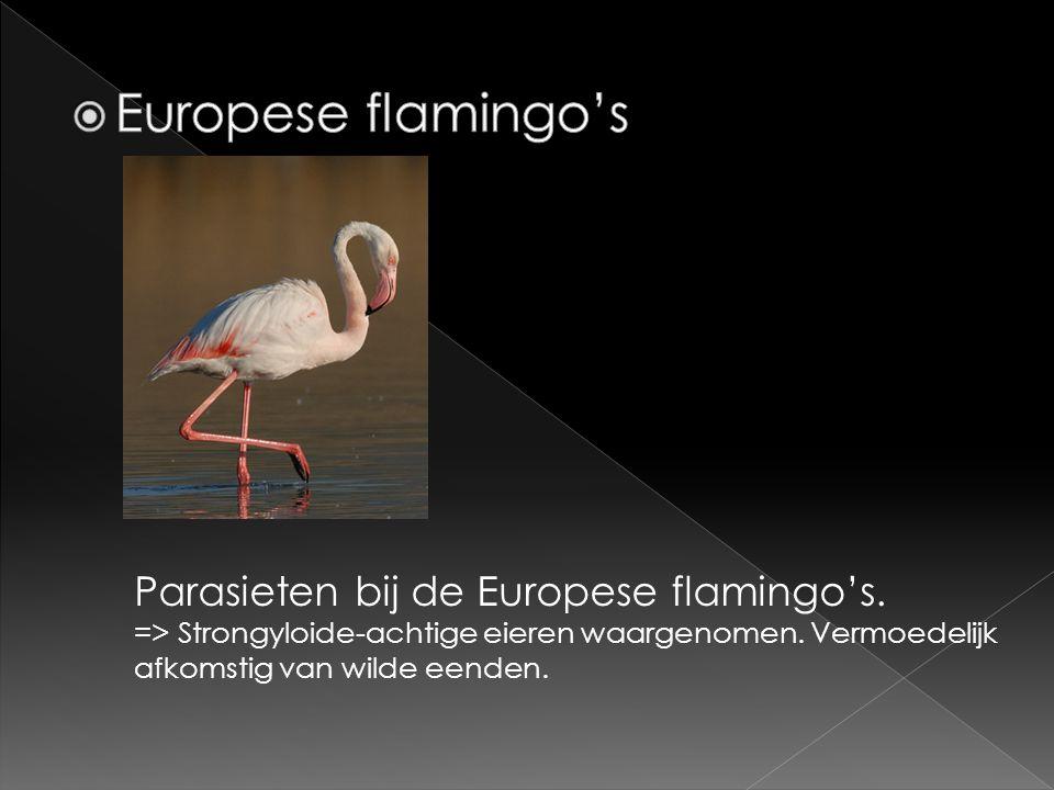 Parasieten bij de Europese flamingo's. => Strongyloide-achtige eieren waargenomen. Vermoedelijk afkomstig van wilde eenden.