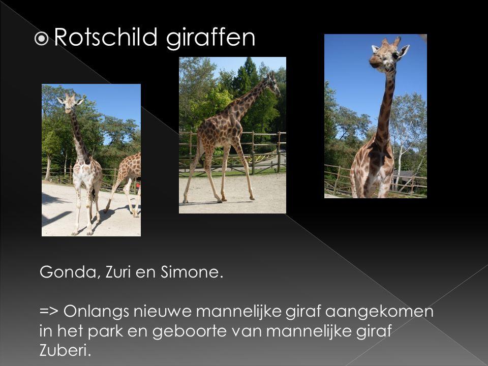  Rotschild giraffen Gonda, Zuri en Simone. => Onlangs nieuwe mannelijke giraf aangekomen in het park en geboorte van mannelijke giraf Zuberi.