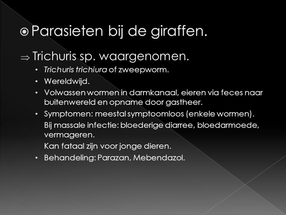  Trichuris sp. waargenomen. • Trichuris trichiura of zweepworm. • Wereldwijd. • Volwassen wormen in darmkanaal, eieren via feces naar buitenwereld en