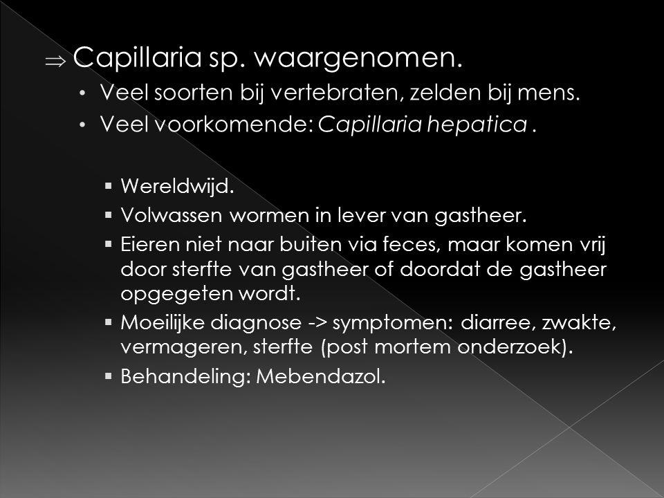  Capillaria sp. waargenomen. • Veel soorten bij vertebraten, zelden bij mens. • Veel voorkomende: Capillaria hepatica.  Wereldwijd.  Volwassen worm