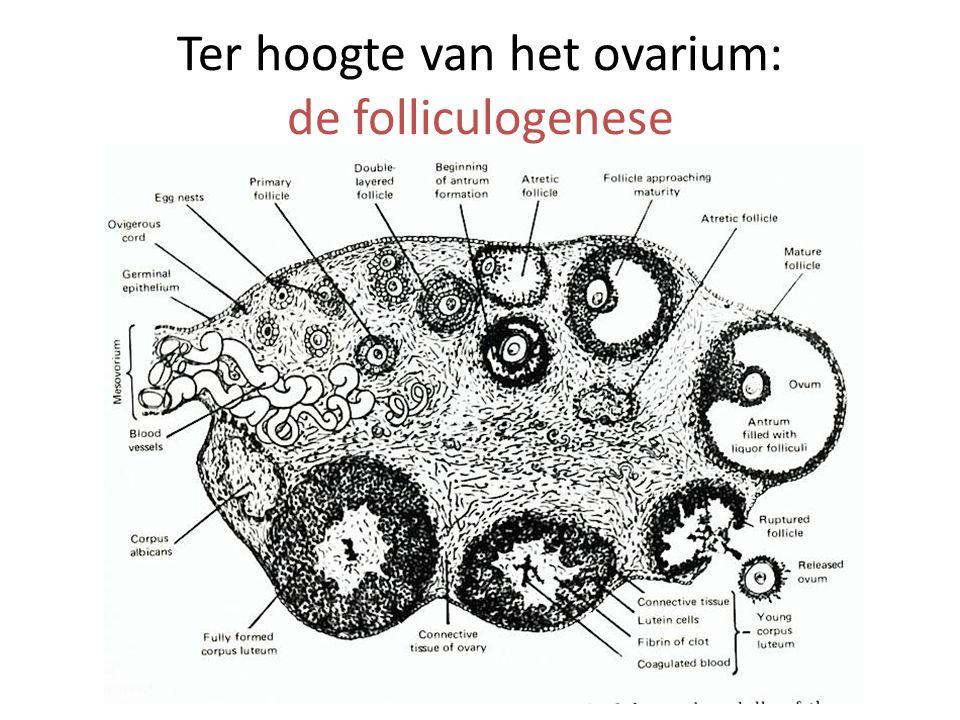 Ter hoogte van het ovarium: de folliculogenese