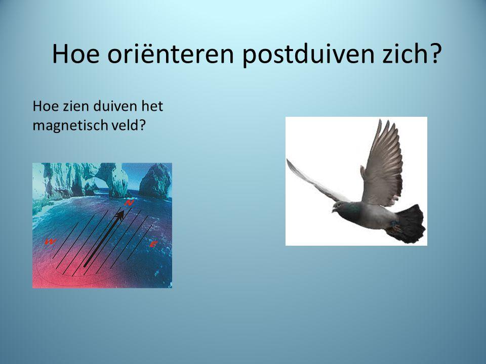 Hoe oriënteren postduiven zich? Hoe zien duiven het magnetisch veld?
